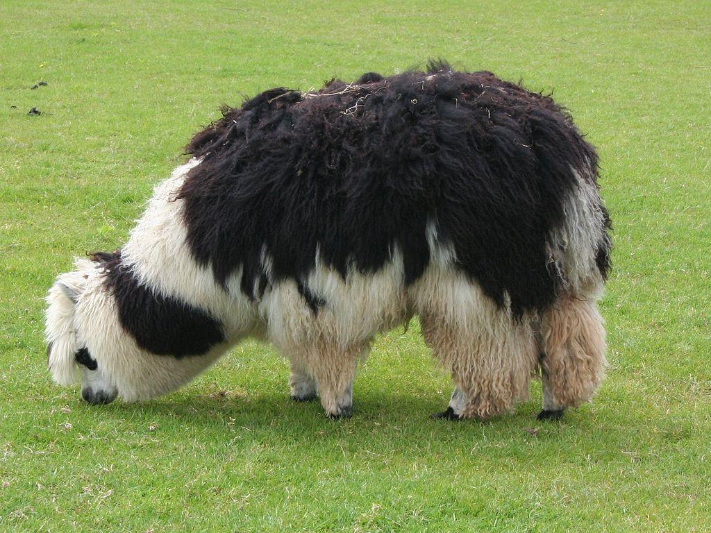 1024px-Unshorn_alpaca_grazing